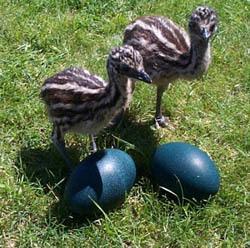 Ostrich eggs, Emu eggs, rhea eggs and their chicks