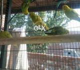 Parrots birds