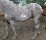 Female beautiful horse for sale