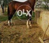 Brown Horse ( Behtreen Nasal ka )