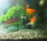 Aquarium with gold fish