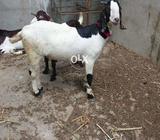 Zunair goat farm
