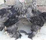 Black brama pair