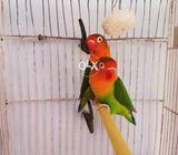 Fisher Love bird full breeder pair