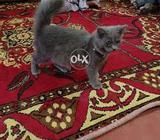 Pursion male cat