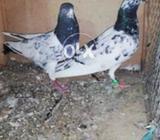 Teddi mix breeding pairs