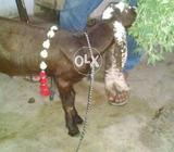 Urgent sale my goat kid male