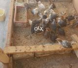35 days old Desi misri golden chicks