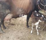 Corace Cow
