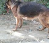 German Shepherd Female