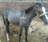 Horse .bacha h 6 month ka