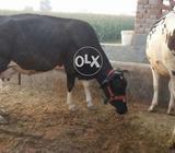 Milkig cow 3 located 10 to 12 sath wacha hi .25 din ki soei. hi