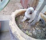 Semi kitten male blue eyes