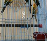 2 pair Sunconure adult pair with DNA test 50 thousands each pair