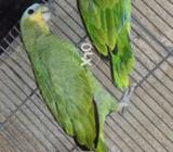 Orange wing Amazon