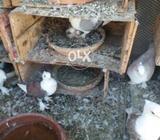 Pigeon satinate, German owl