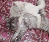 Pure persion cat male and female