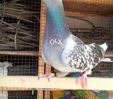 Racer Gola pigeon
