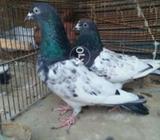 Rampuri pigeons