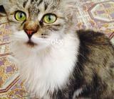 Rasian Cat