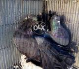 Singaporian jet black breeder pamosh pair