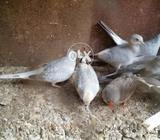White tail dove patthy