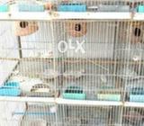 Whitechik finches breedar pair for sale